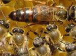 Мед и медолечение